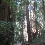 Muir Woods in perspective